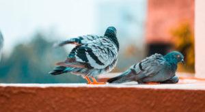 Come allontanare piccioni e volatili