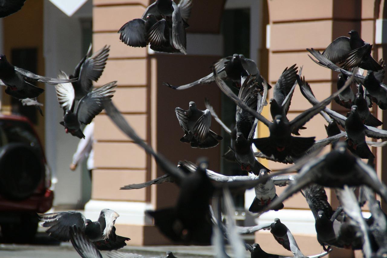 Perché allontanare i piccioni